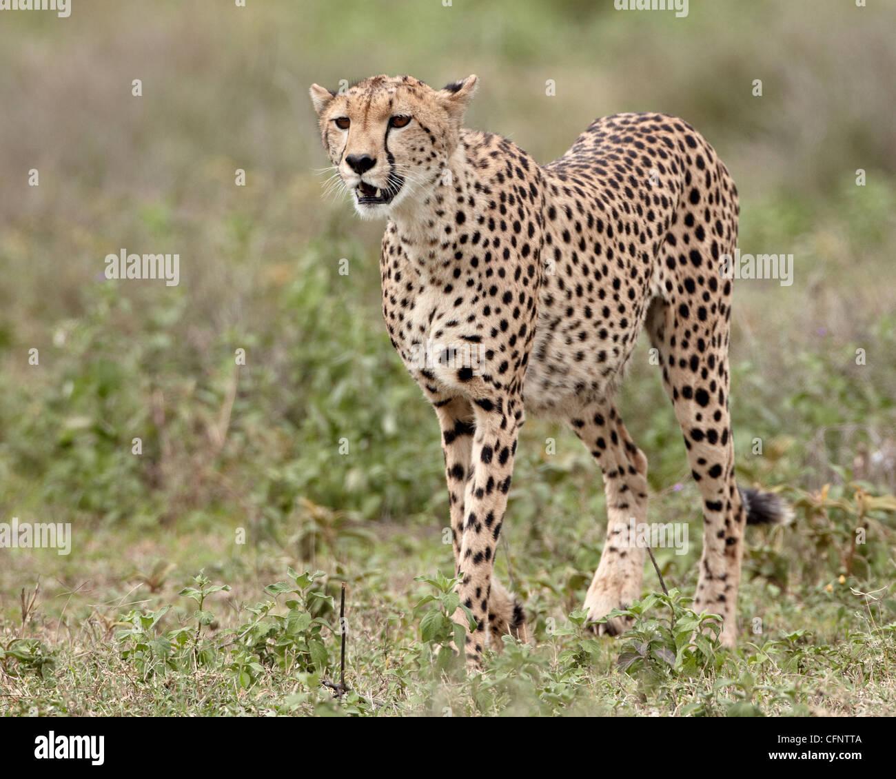 Ghepardo (Acinonyx jubatus), il Parco Nazionale del Serengeti, Tanzania, Africa orientale, Africa Immagini Stock