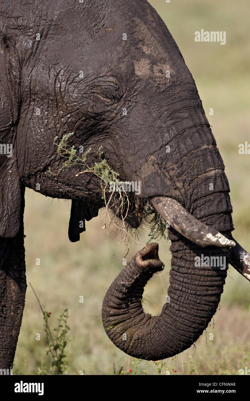 Elefante africano (Loxodonta africana) mangiare, Serengeti National Park, Tanzania, Africa orientale, Africa Immagini Stock