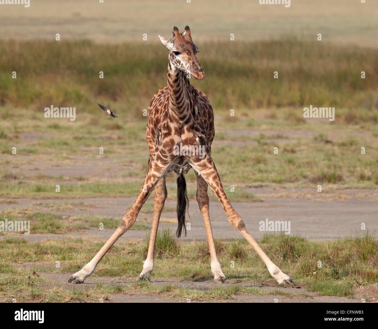 Masai giraffe (Giraffa camelopardalis tippelskirchi) bere, Serengeti National Park, Tanzania, Africa orientale, Immagini Stock