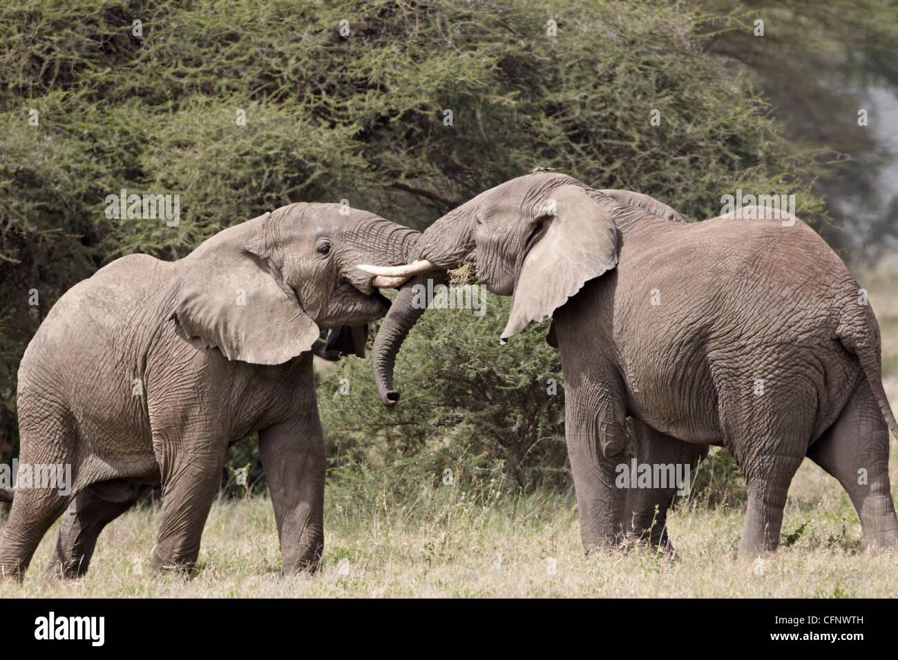 Due elefante africano (Loxodonta africana) sparring, Serengeti National Park, Tanzania, Africa orientale, Africa Immagini Stock