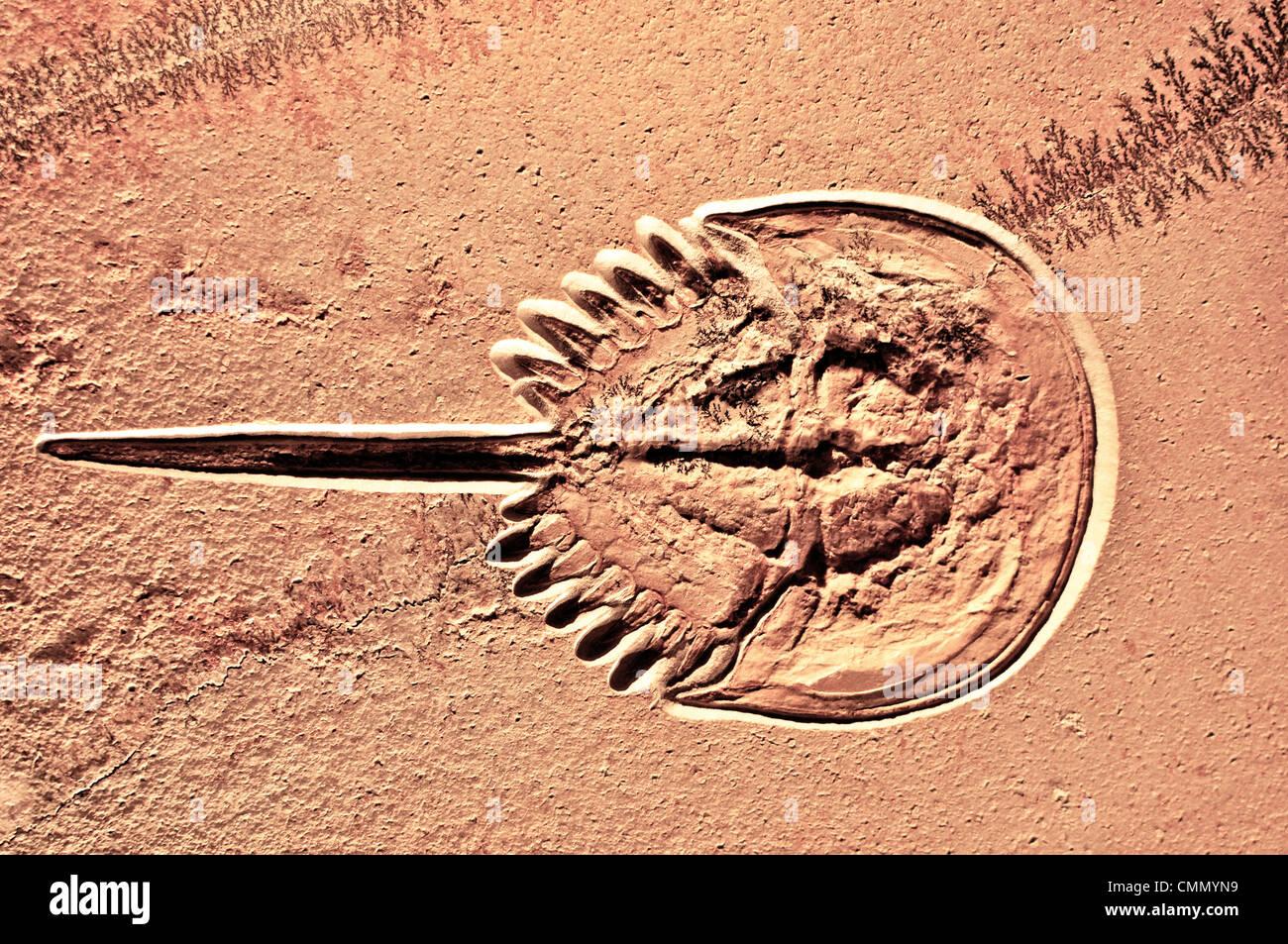 Fosilized granchio a ferro di cavallo. Questi animali sono considerate fossili viventi, in quanto essi non hanno Foto Stock