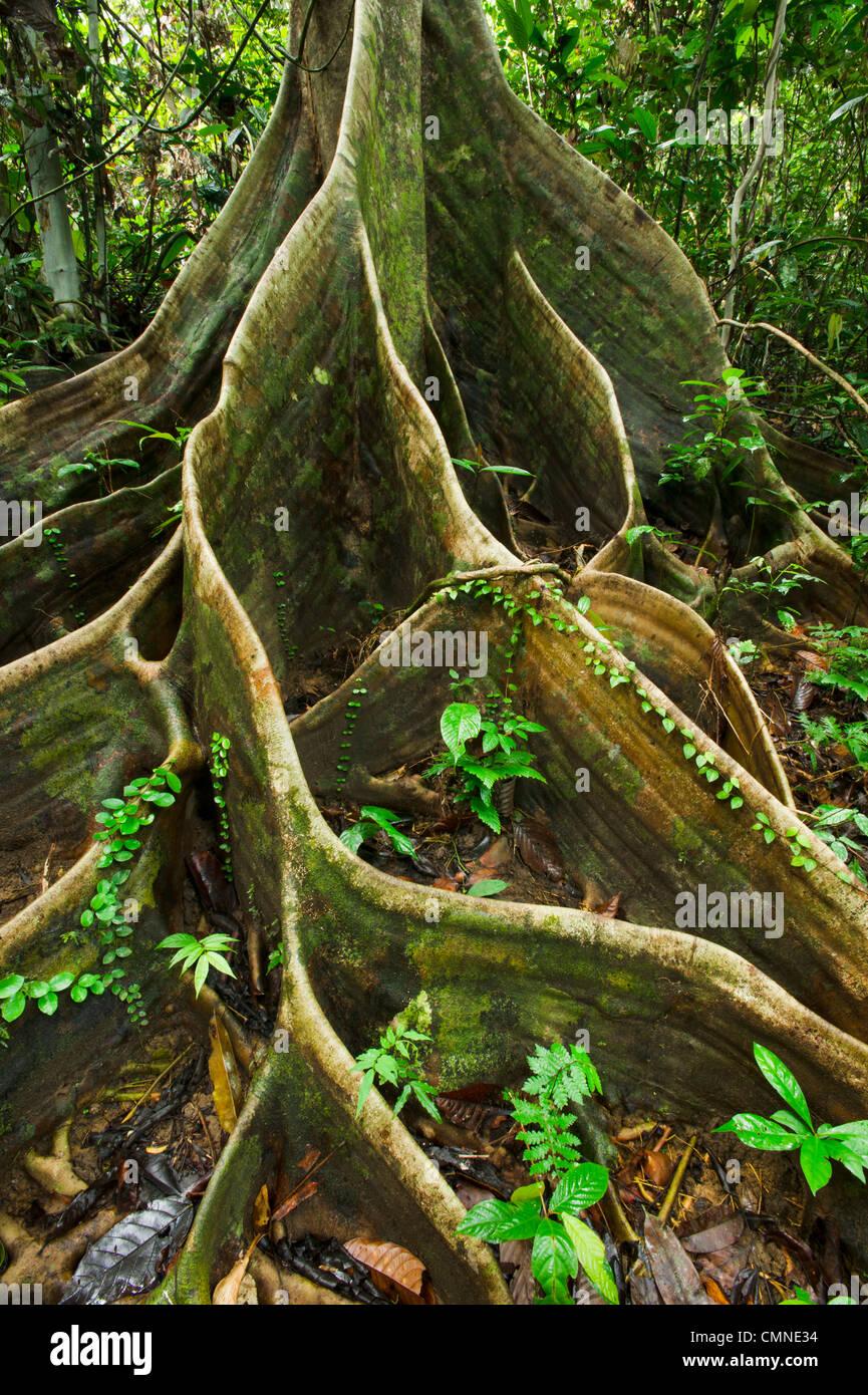 Radici quadrate di Shorea sp. all'interno di lowland Dipterocarp foresta pluviale. Danum Valley, Sabah Borneo. Foto Stock
