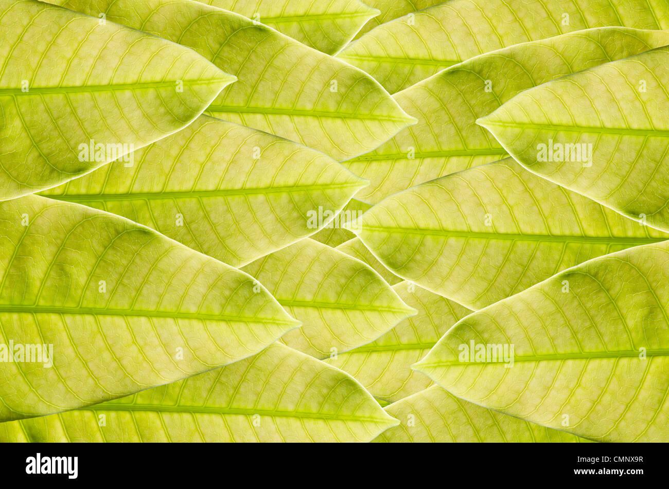Foglia verde dello sfondo verde nella natura fresca Immagini Stock