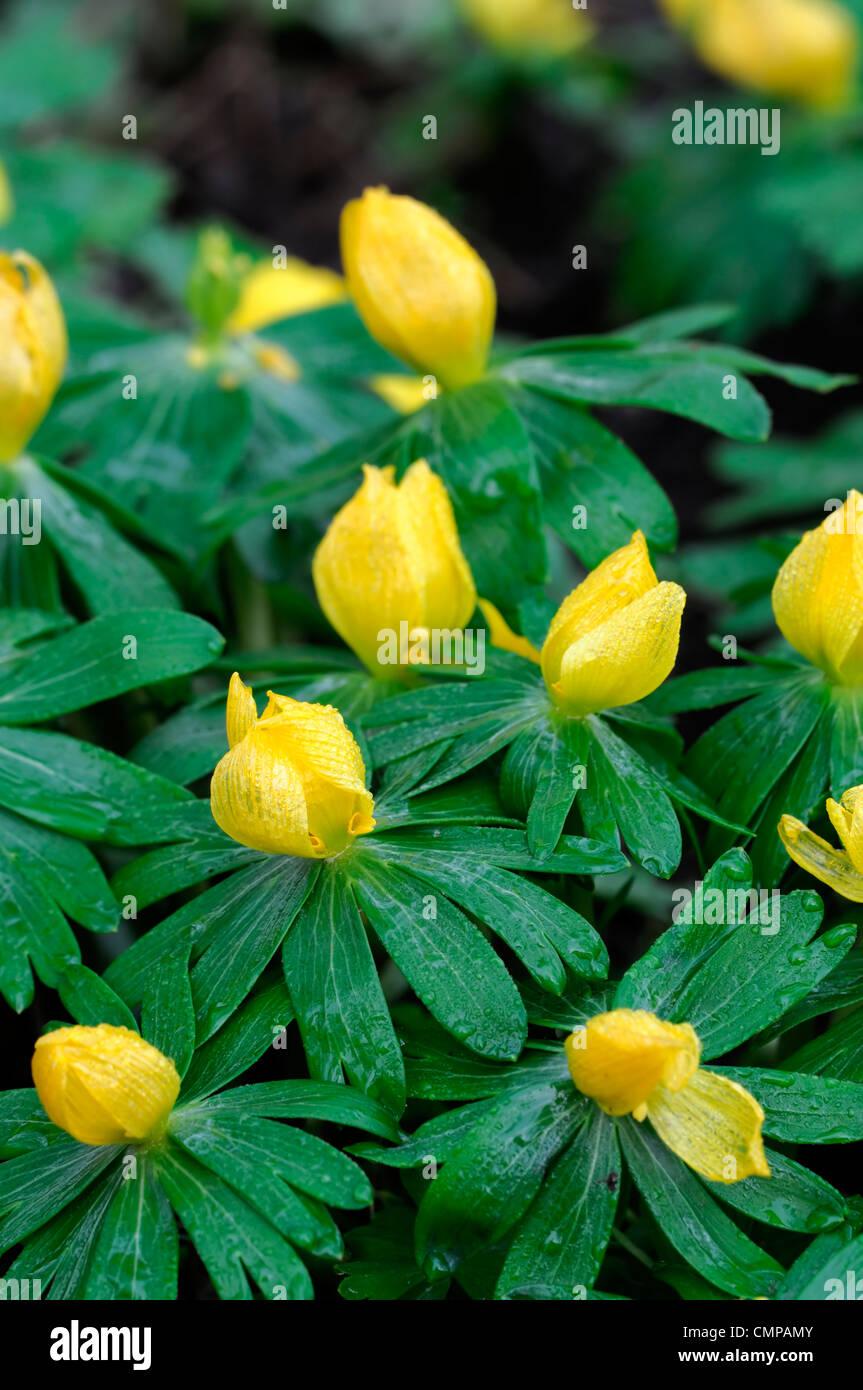 Fiori Gialli Bosco.Eranthis Hyemalis Inverno Aconiti Aconitum Fiori Gialli