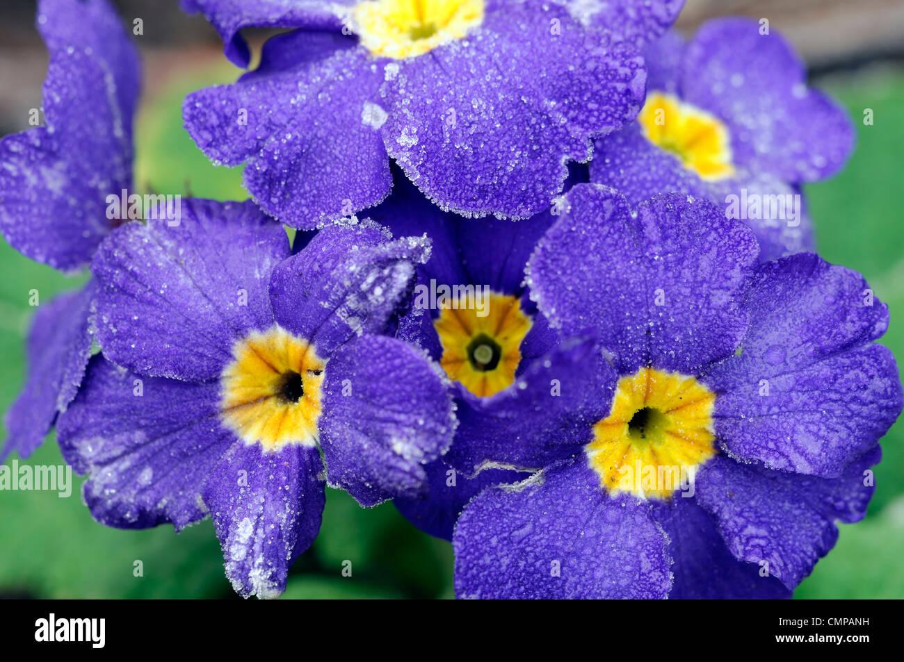 Primula crescendo polyanthus blu del gruppo coperchio di brina coperto di fiori blu fioritura fiorisce blossoms Immagini Stock