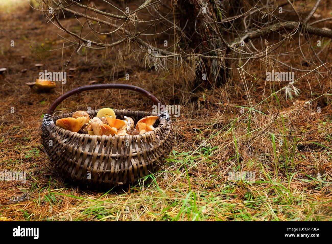 Il cestello con i funghi di bosco Foto Stock