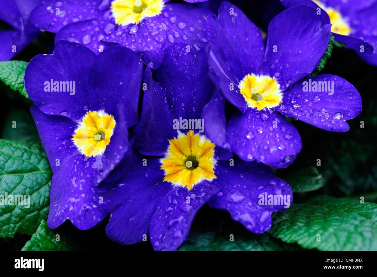 Primula crescendo blu gruppo polyanthus approfondimento vicino ups fiori blu fioritura fiorisce blossoms Yellow Immagini Stock