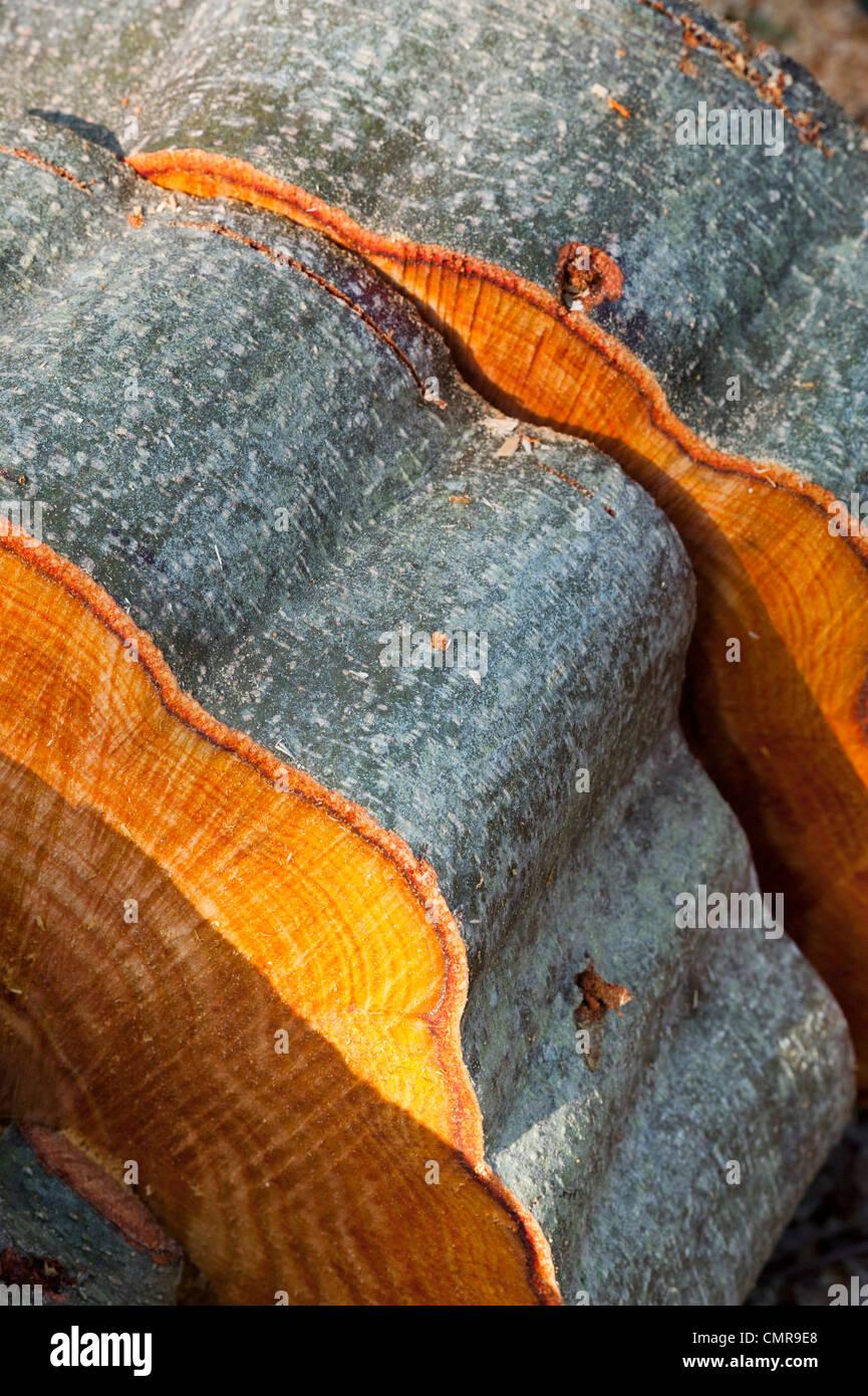 Tagliare tronchi di alberi a sinistra in un bosco inglese Immagini Stock