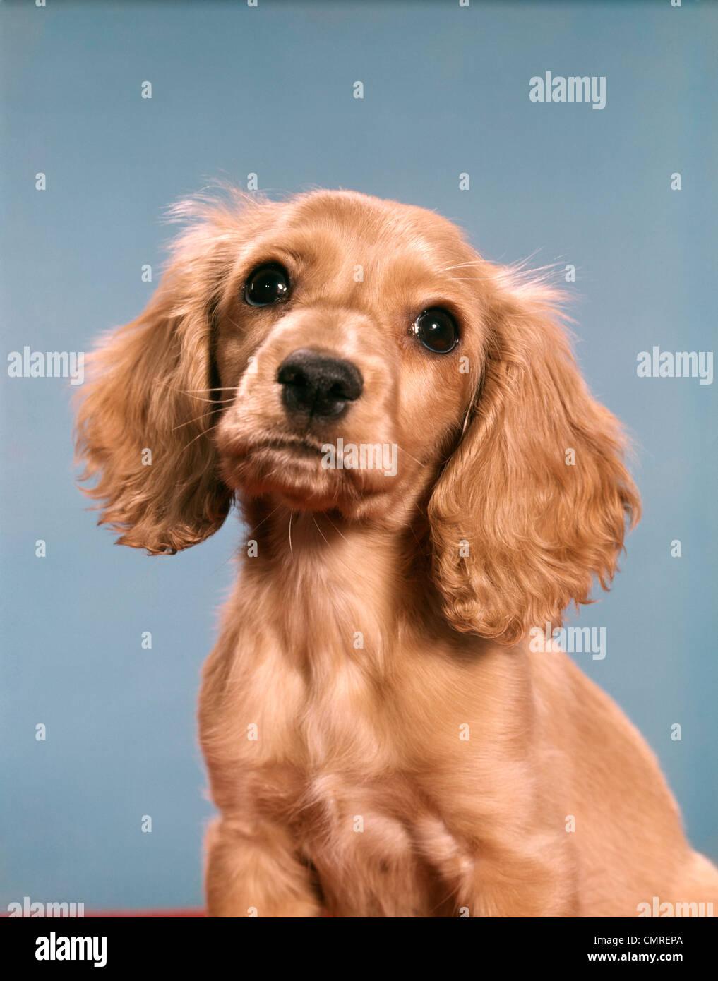 Anni ottanta carino cocker spaniel cucciolo guardando la fotocamera Immagini Stock