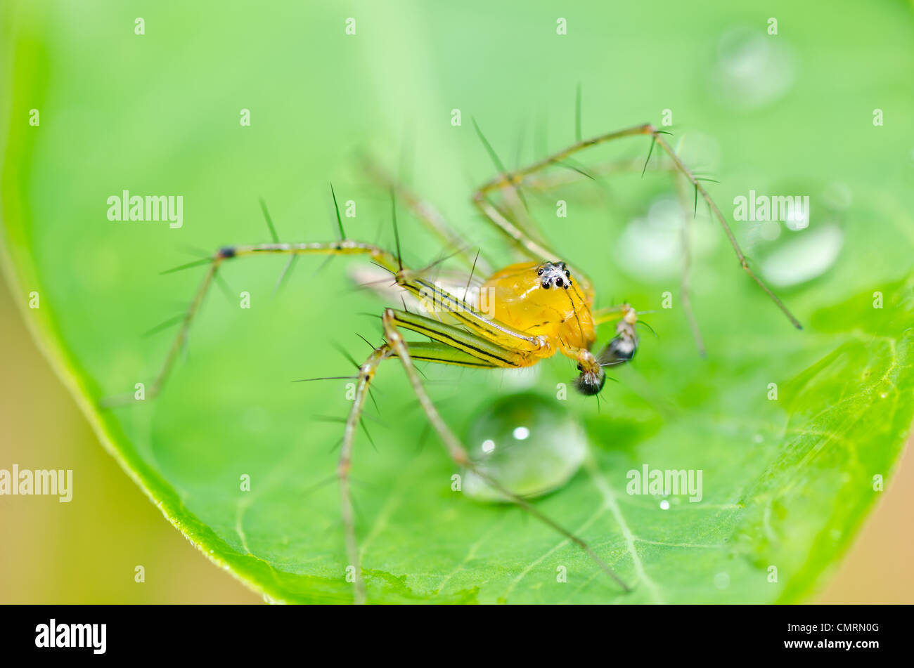 Gambe lunghe spider e gocce di acqua nel verde della natura o il giardino Immagini Stock