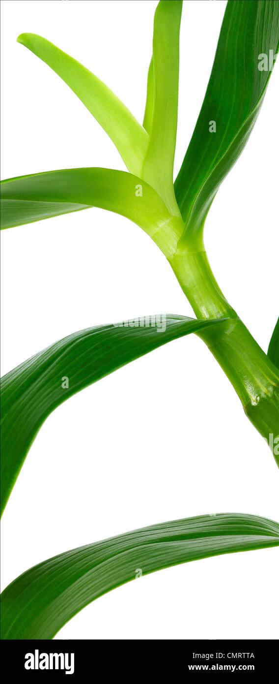 Chiudere verso l'alto, germogli e foglie di un'orchidea su sfondo bianco, verticale panoramica Immagini Stock