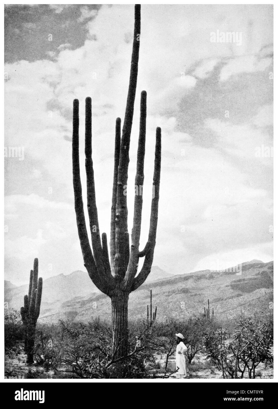 1924 Questa pianta è una vera manna per gli Indiani cactus Immagini Stock