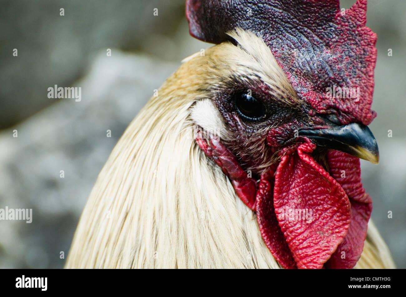 Gallo Foto Stock