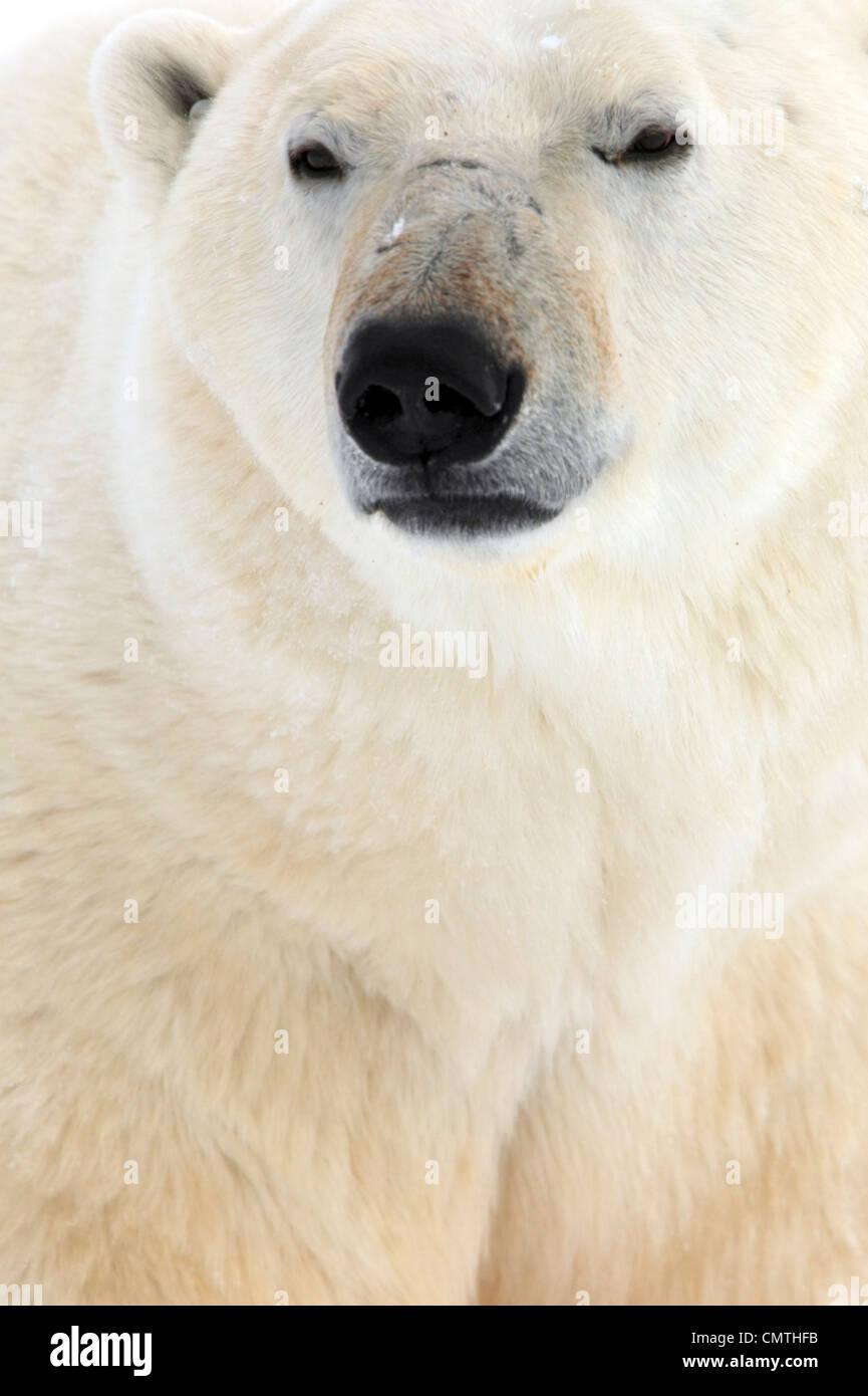 Orso polare, Churchill, Manitoba Immagini Stock