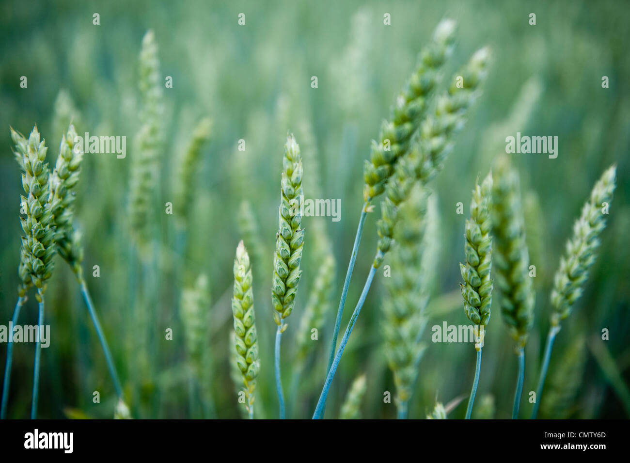 Close-up di grano Foto Stock