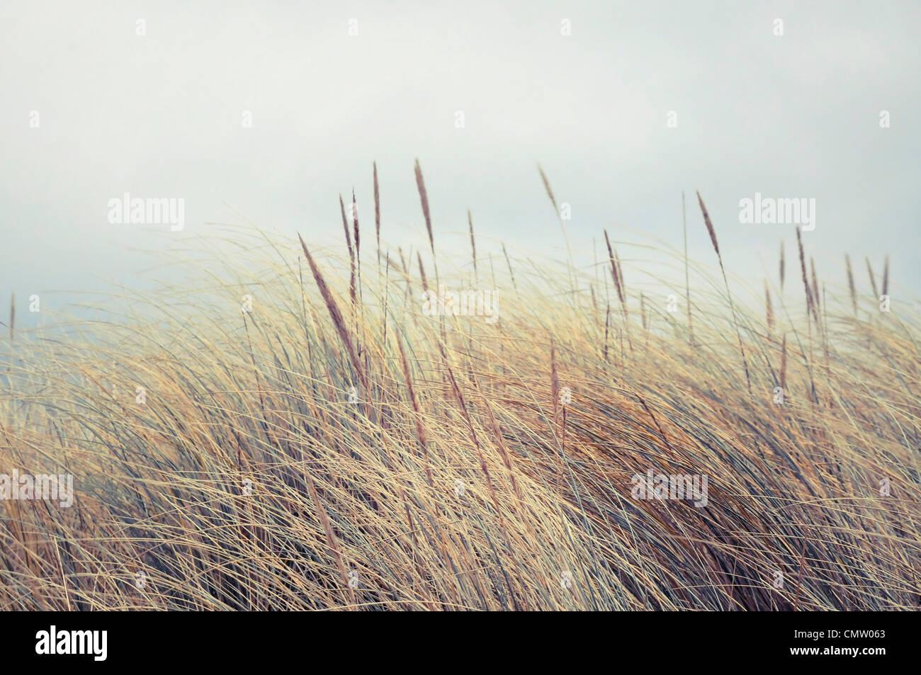 Reeds soffiando nel vento Immagini Stock