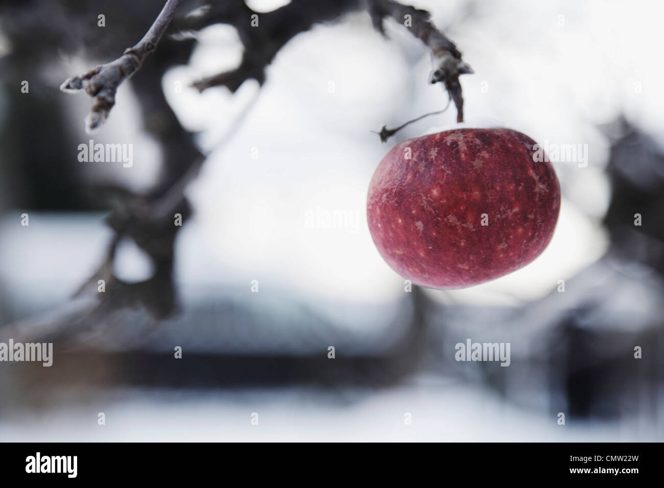 Ultimo apple appesi ad albero Immagini Stock