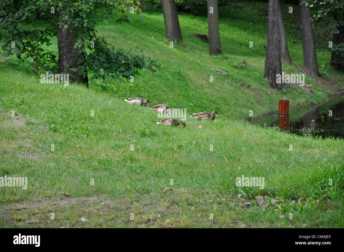 Anatre, uccelli di erba in un parco Immagini Stock