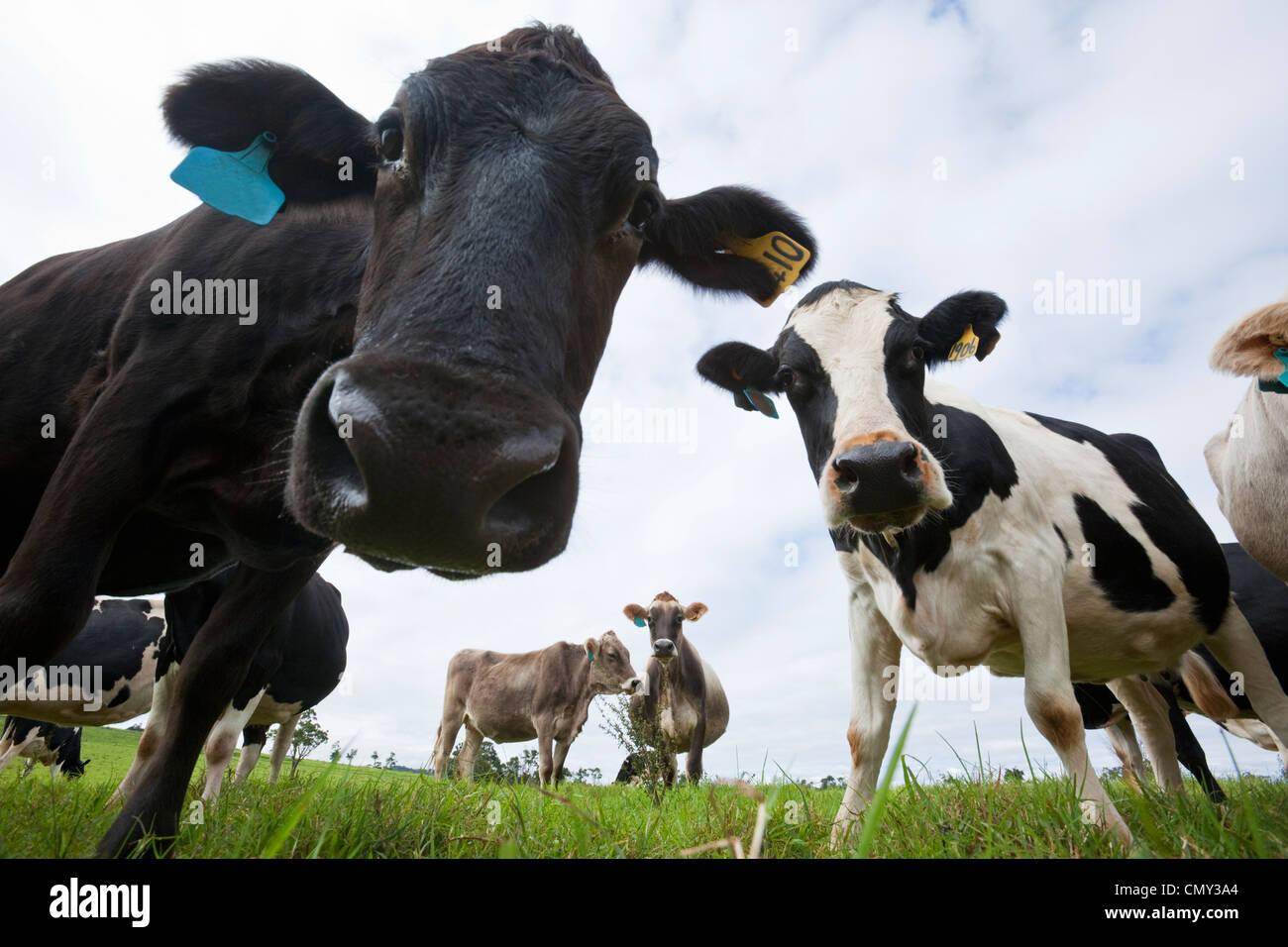 Curiose le vacche da latte. Millaa Millaa, altopiano di Atherton, Queensland, Australia Immagini Stock