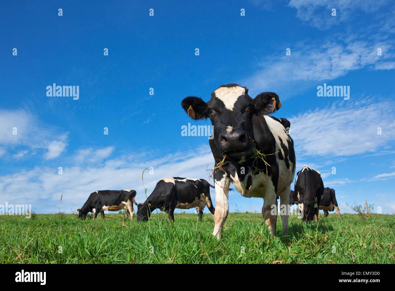 Vacche da latte al pascolo nei verdi pascoli. Millaa Millaa, altopiano di Atherton, Queensland, Australia Immagini Stock