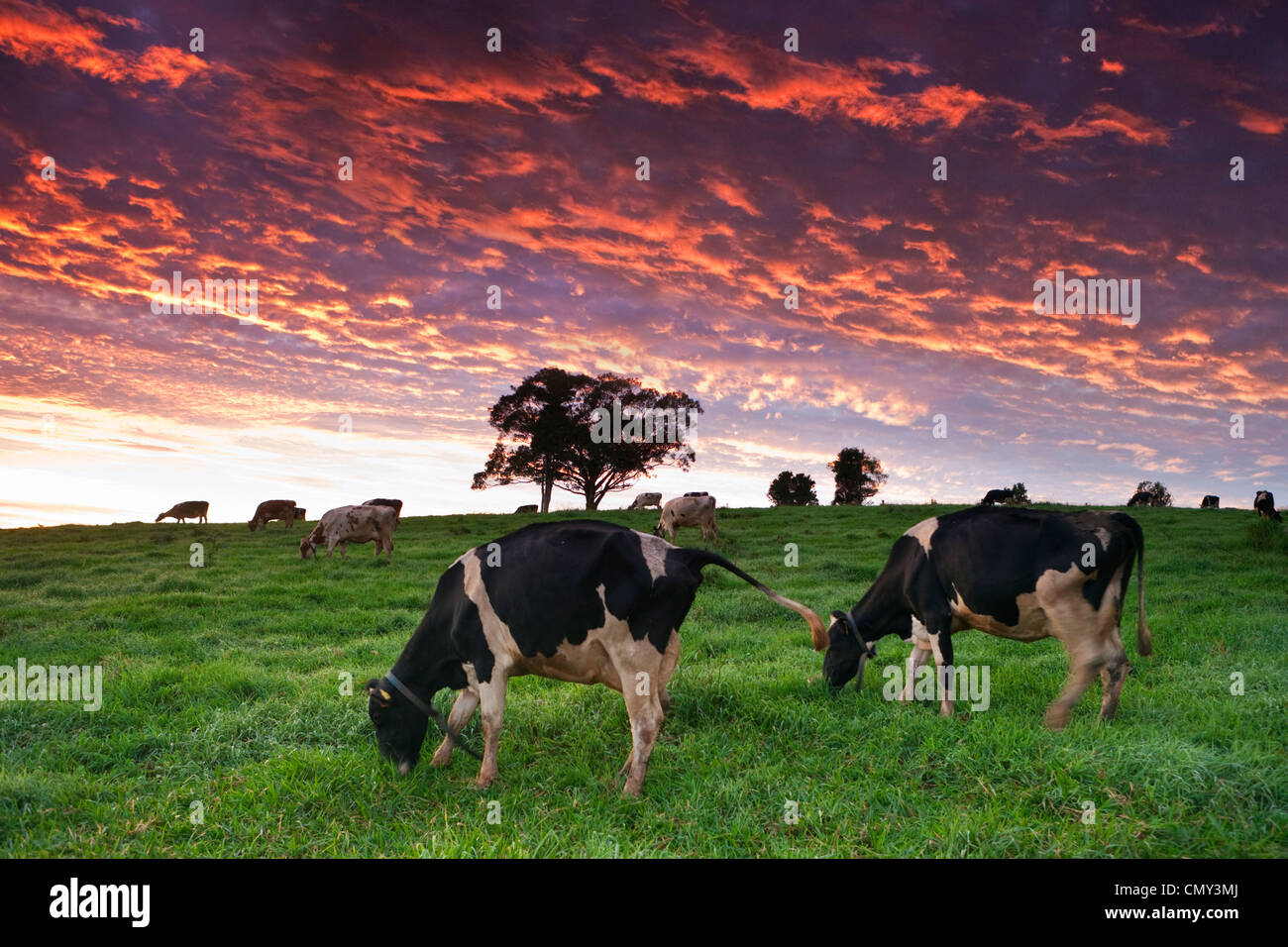 Vacche da latte al pascolo nei pascoli al crepuscolo. Millaa Millaa, altopiano di Atherton, Queensland, Australia Immagini Stock