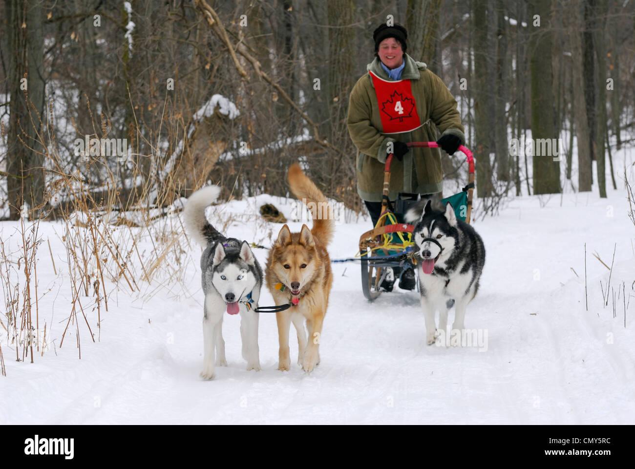 Femmina cane ricreative sleder pastosità su terreni innevati sentiero forestale in Canada Immagini Stock