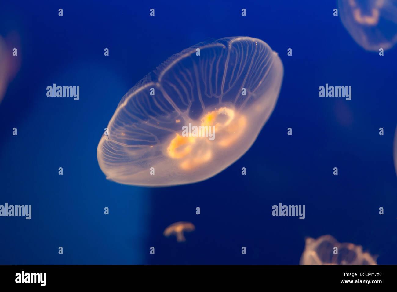 Medusa con oceano blu acqua Immagini Stock