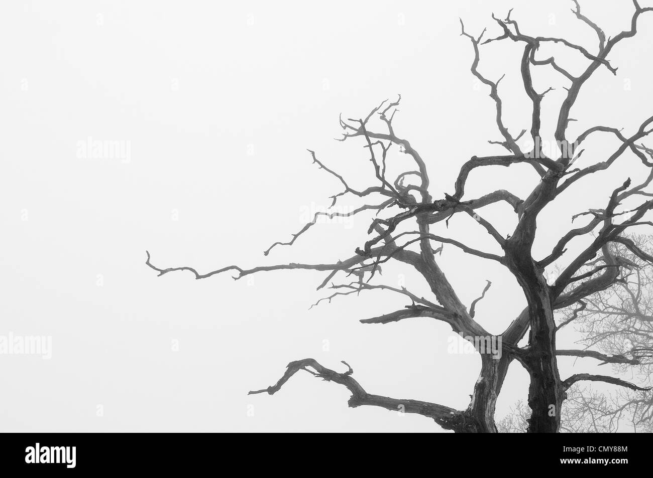 A nudo i rami degli alberi in silhouette in una nebbiosa giornata invernale, in bianco e nero Immagini Stock