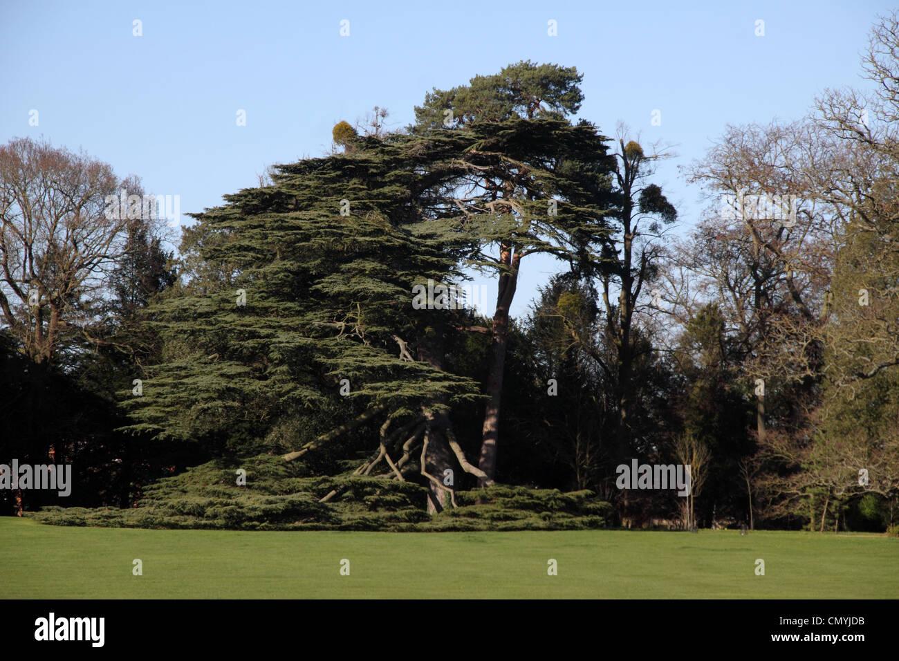 Un albero di cedro dove i rami inferiori ora a contatto con il pavimento Immagini Stock