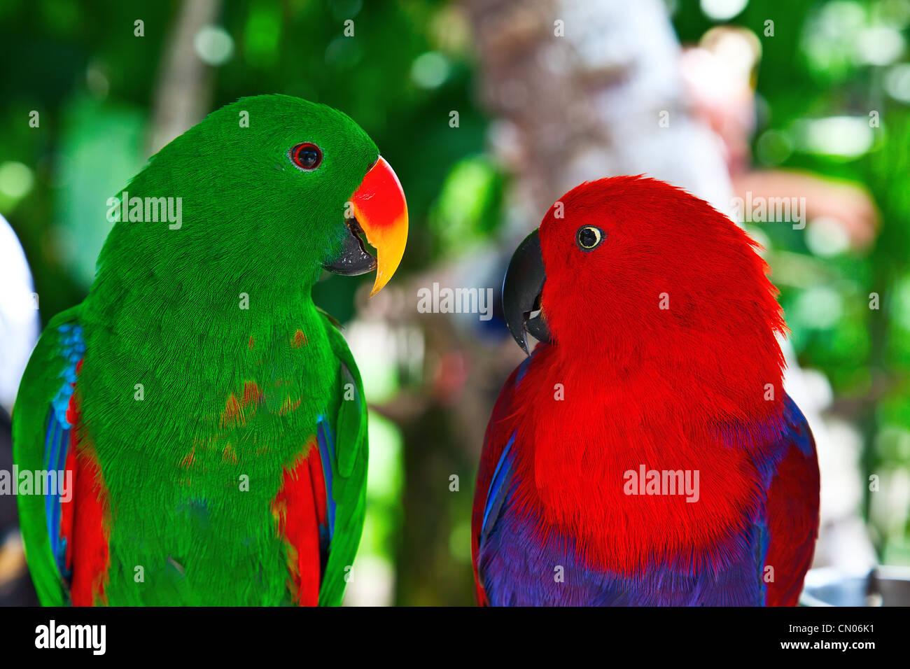 Uccelli in amore: Coppia di lori pappagalli sull'albero Immagini Stock