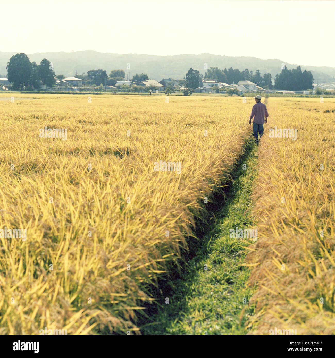 Uomo che cammina in risaia, Fukushima, Giappone Immagini Stock