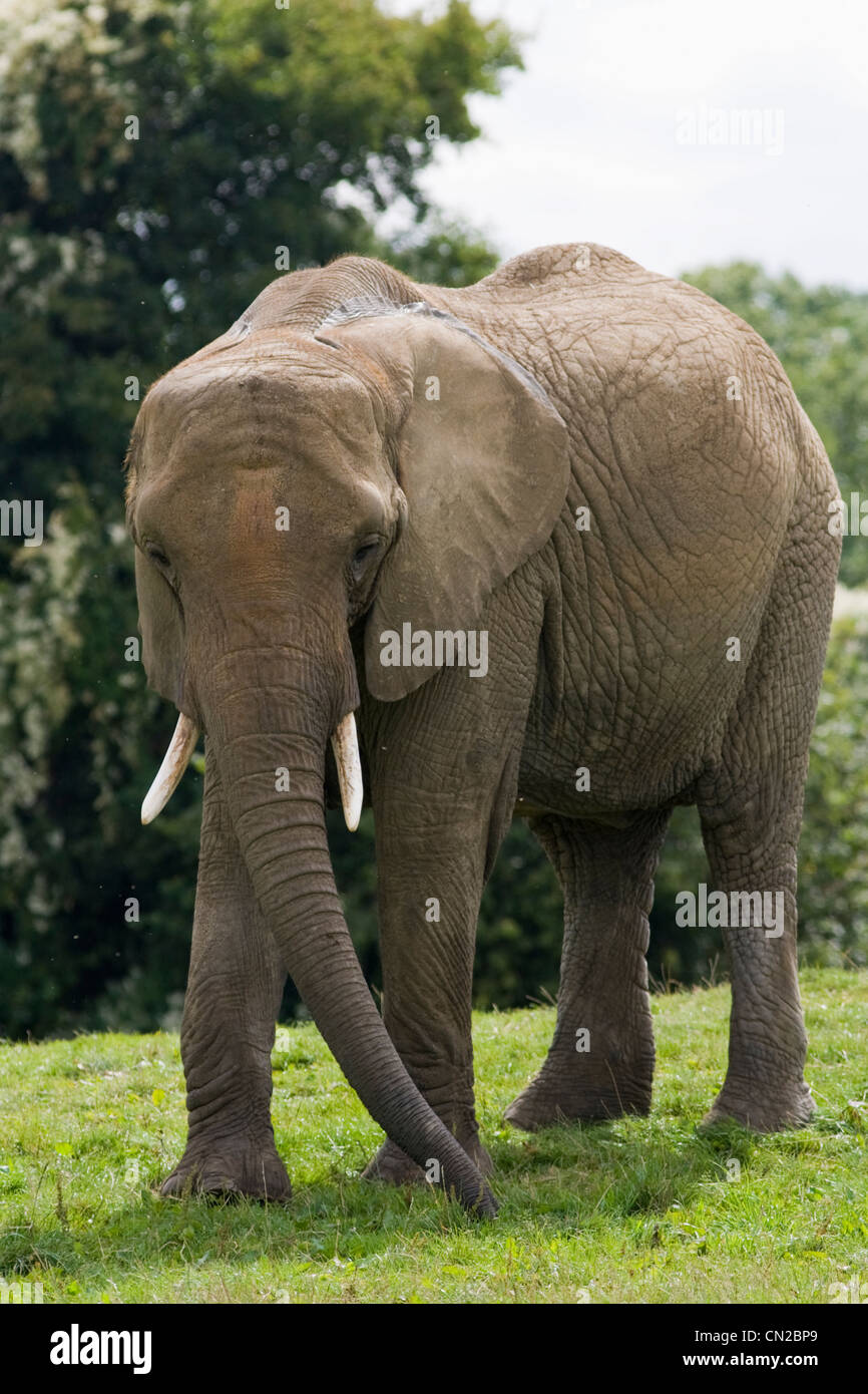 Elefante africano - Loxodonta africana Immagini Stock