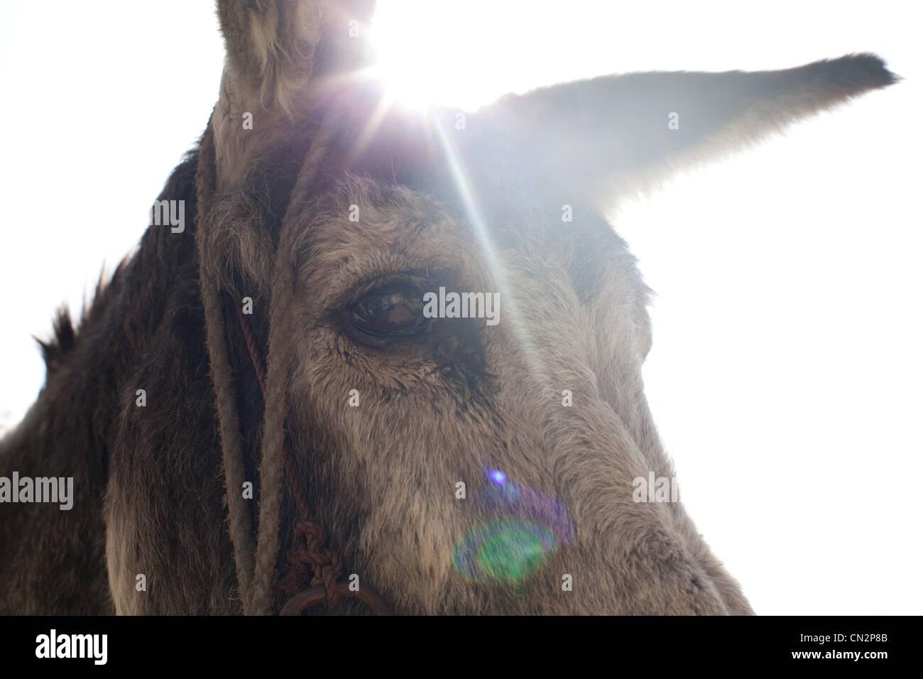 Testa d'asino era, close up Foto Stock
