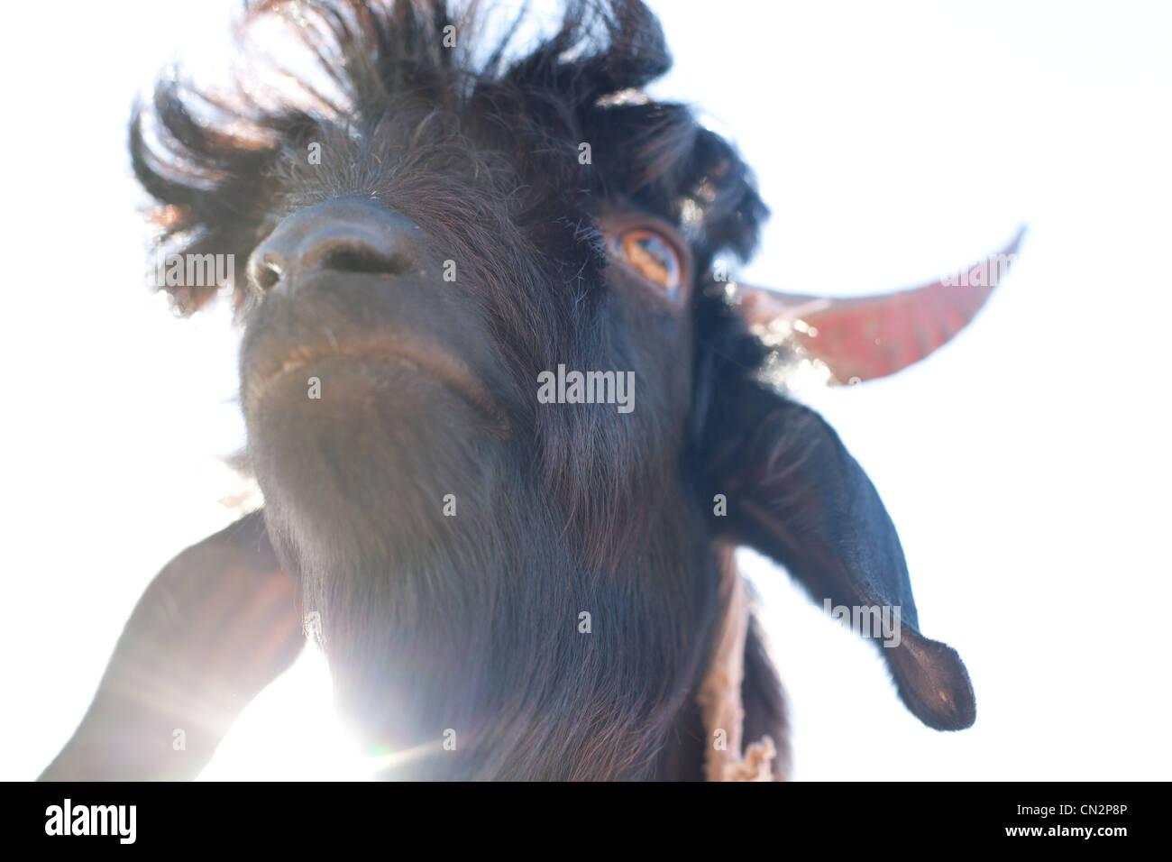 Testa della capra, angolo basso Immagini Stock