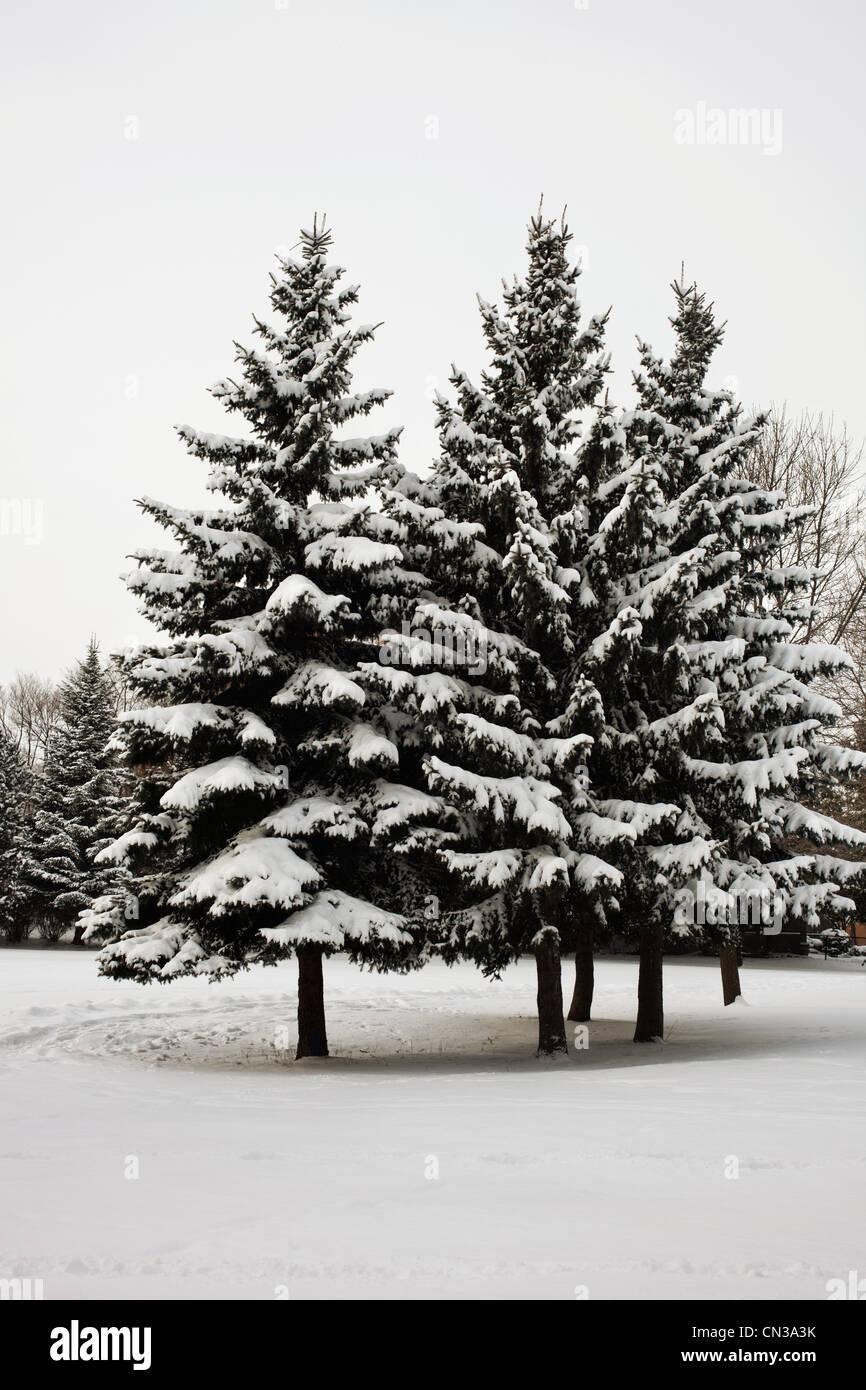 Coperta di neve alberi Immagini Stock