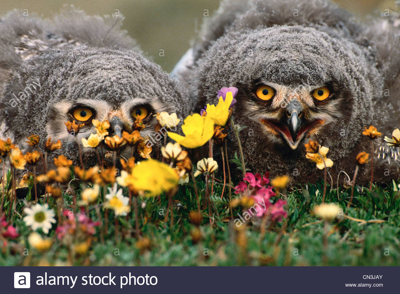 Snowy owlets sul tumulo di nido, Arctic National Wildlife Refuge, Alaska Immagini Stock