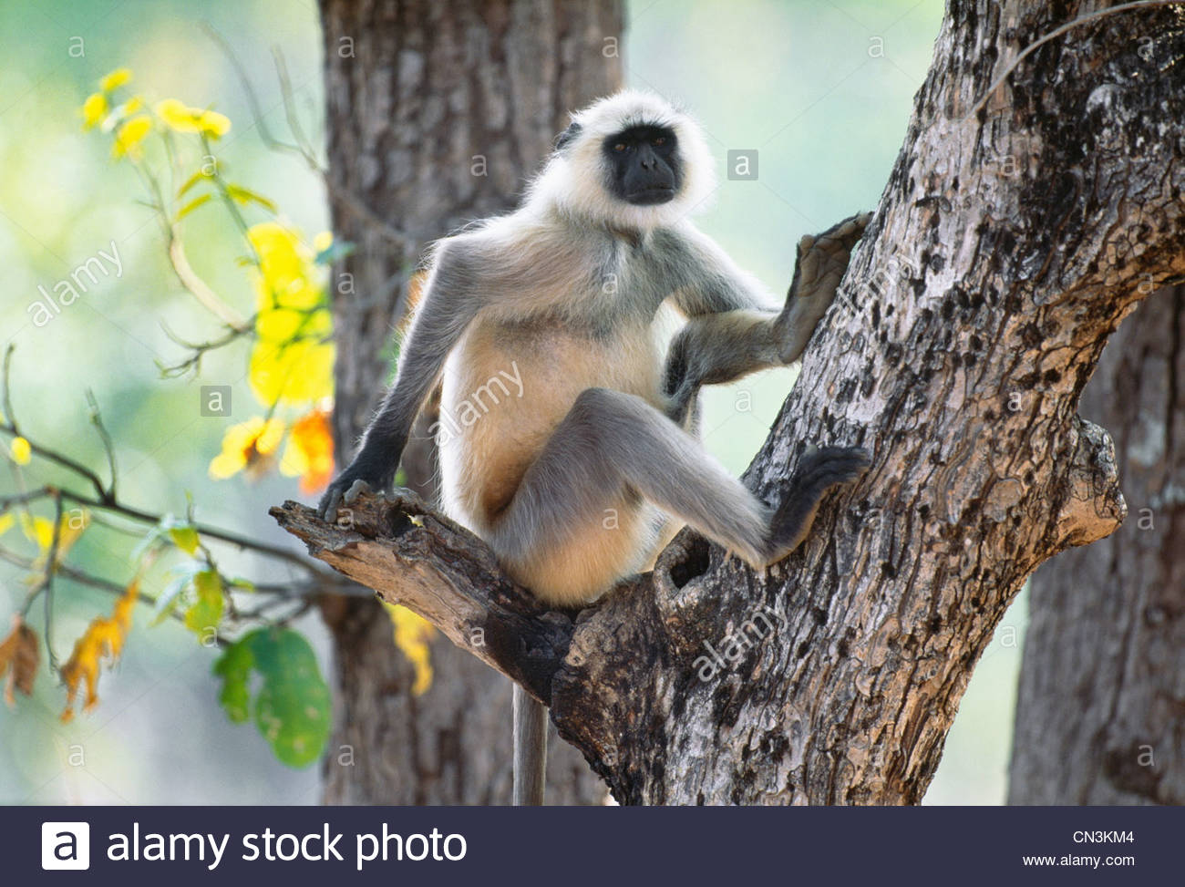 Hanuman langur, Ranthambhore National Park, India Immagini Stock