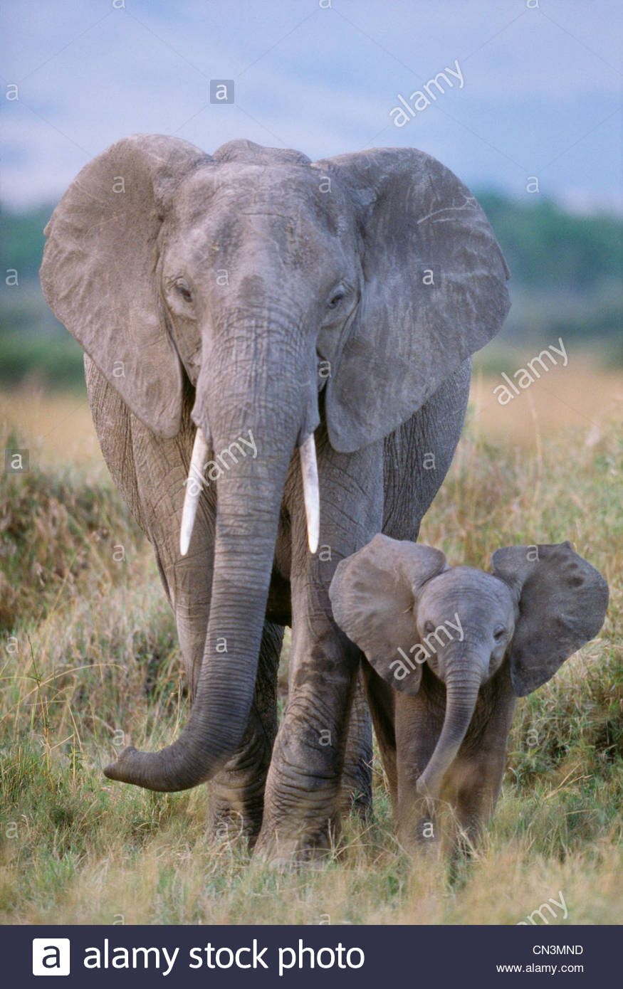Elefante africano di mucca e di vitello, Amboseli National Park, Kenya Immagini Stock