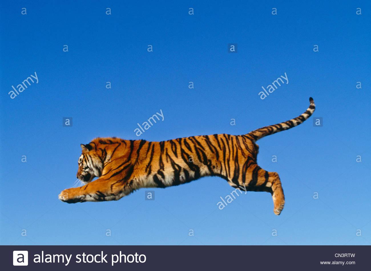 Saltando la tigre del Bengala Immagini Stock