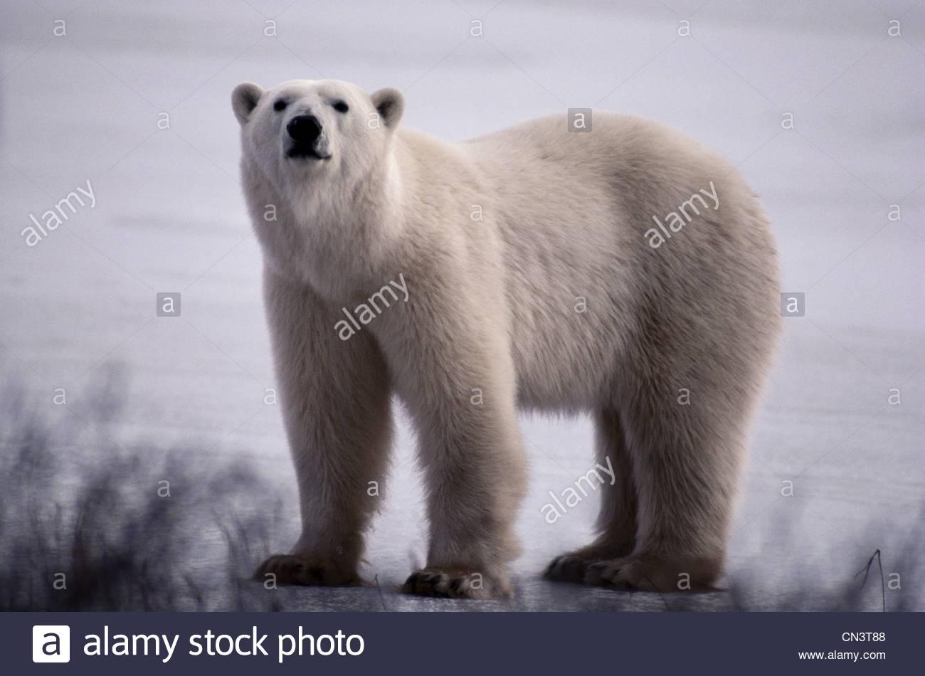 Orso polare, Canada Immagini Stock