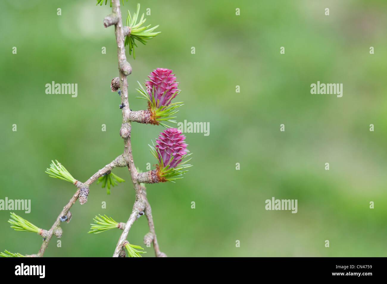 Larix decidua. Larice fiore femmina in primavera Foto Stock