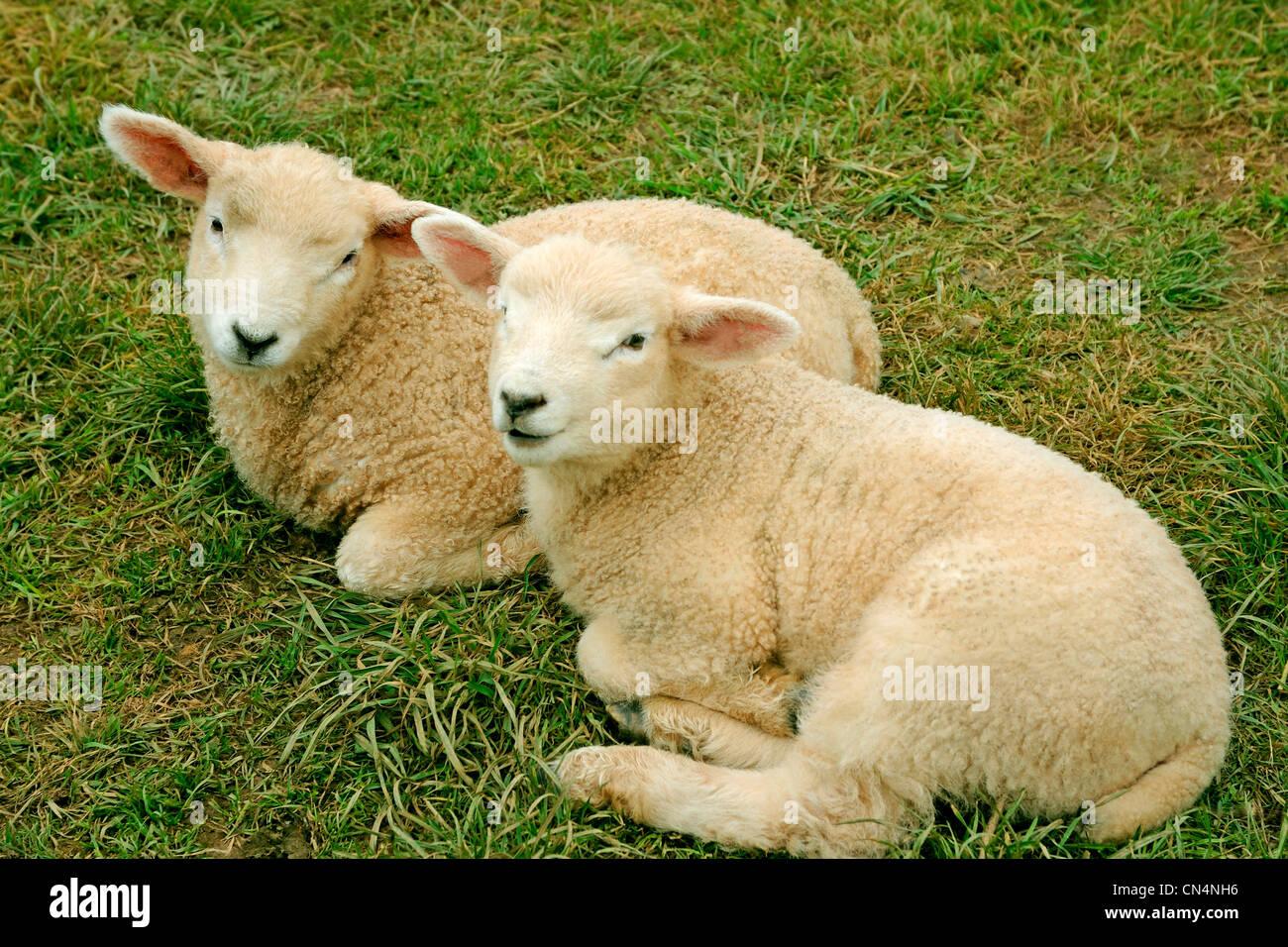 Due agnelli 2 agnelli Immagini Stock