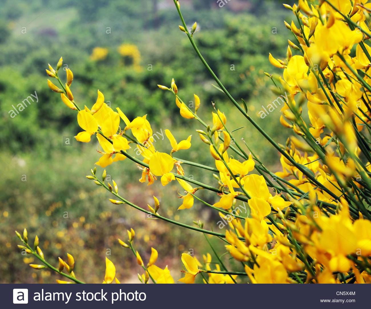 Fiori Di Campo Gialli.Fiori Gialli Fondale Dept Di Campo Foto Immagine Stock