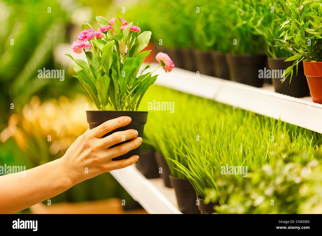 Primo piano sulle mani prendendo vasi di fiori da scaffale del negozio Immagini Stock