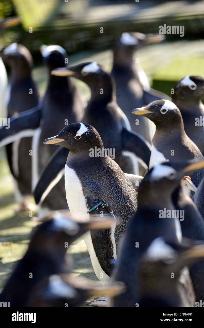Pinguini nel loro recinto in lo Zoo di Edimburgo, Edimburgo, Scozia. Immagini Stock