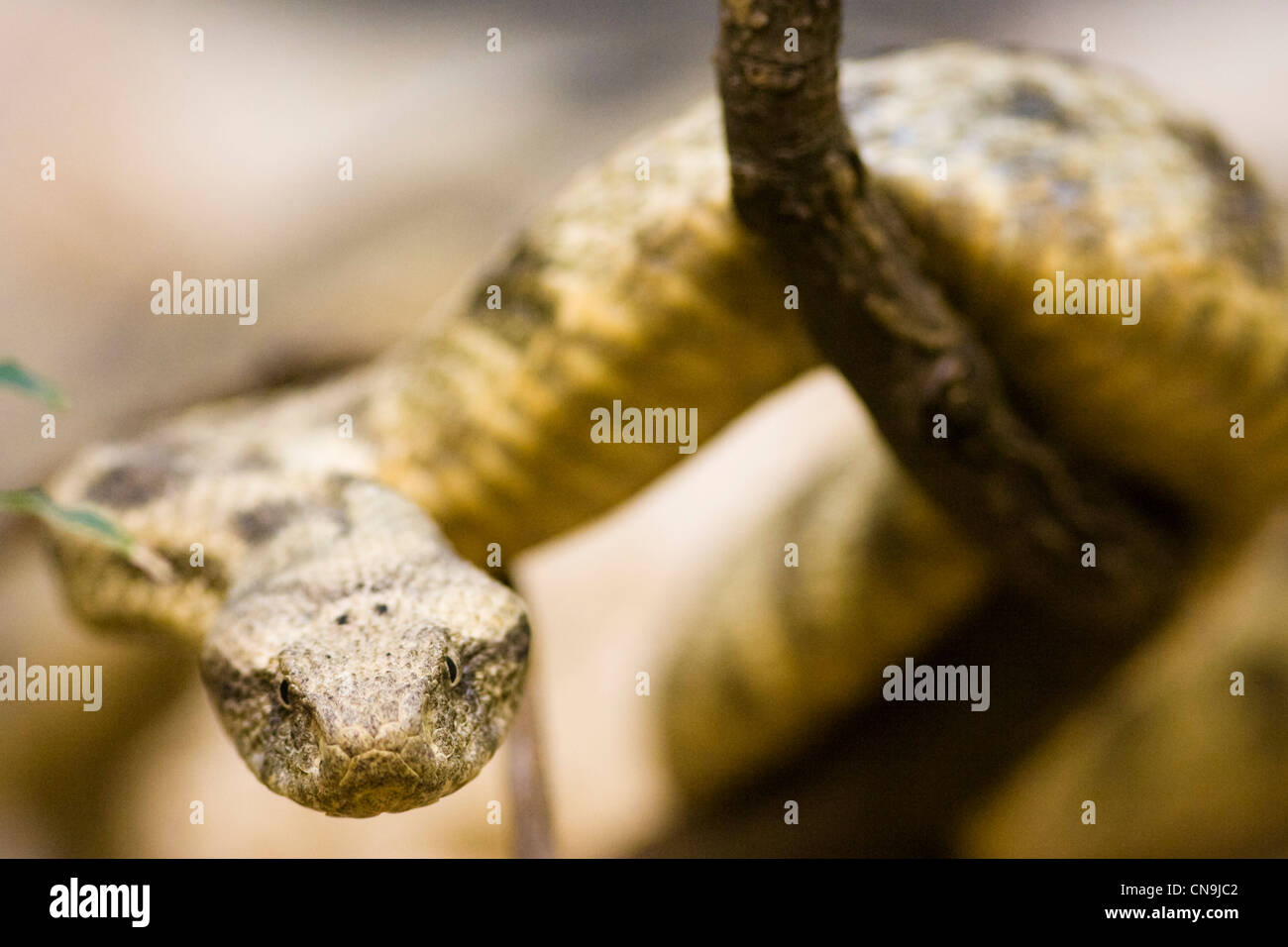 Levantine Viper - Macrovipera lebetina - serpente velenoso Immagini Stock