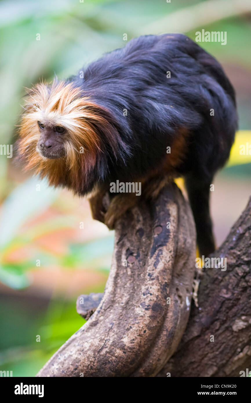 Testa di Golden Lion Tamarin - Leontopithecus chrysomelas Immagini Stock