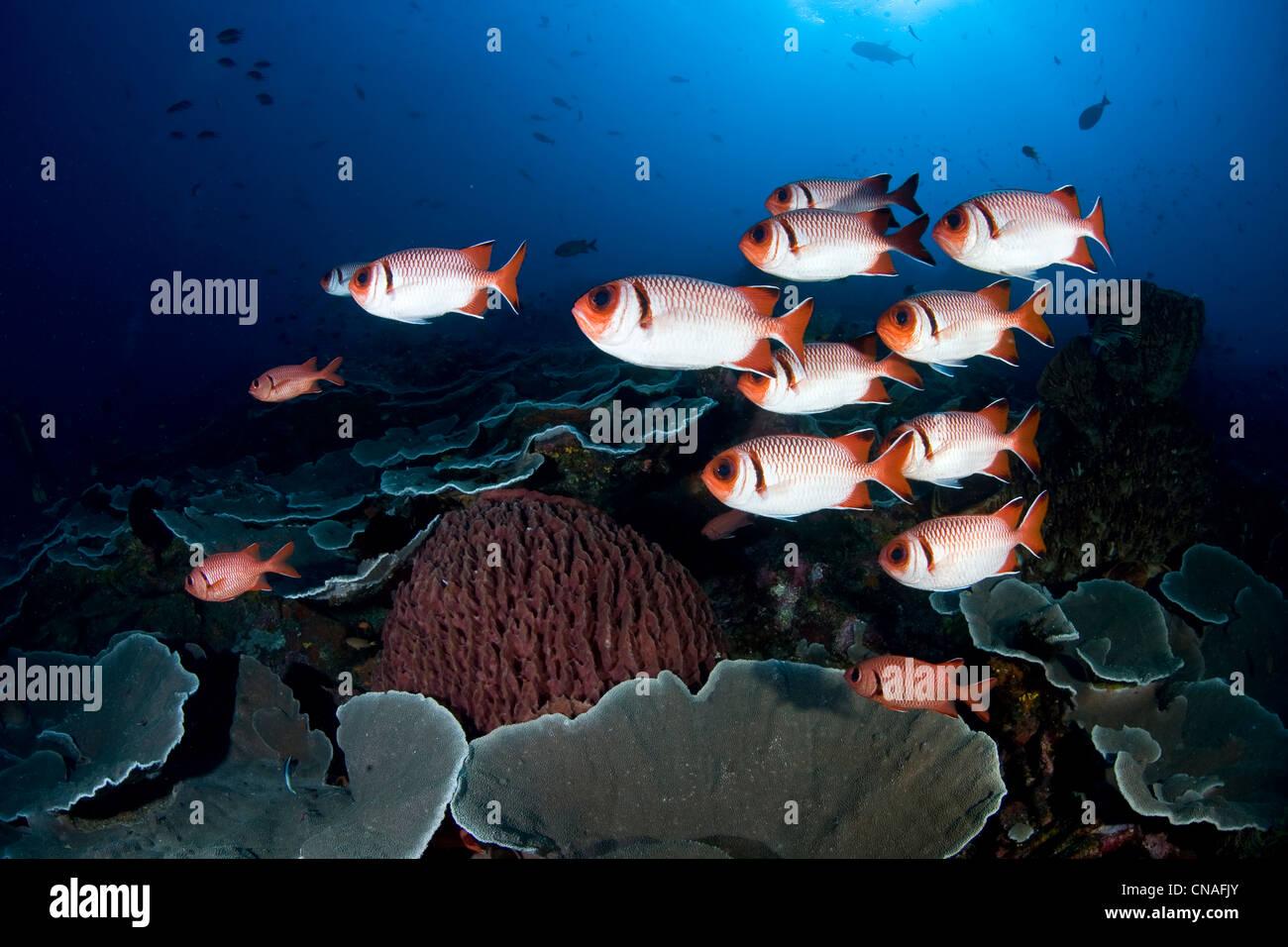 Una piccola scuola di soldierfish, Myripristis sp., passare con il mouse su di una scogliera di corallo durante Immagini Stock