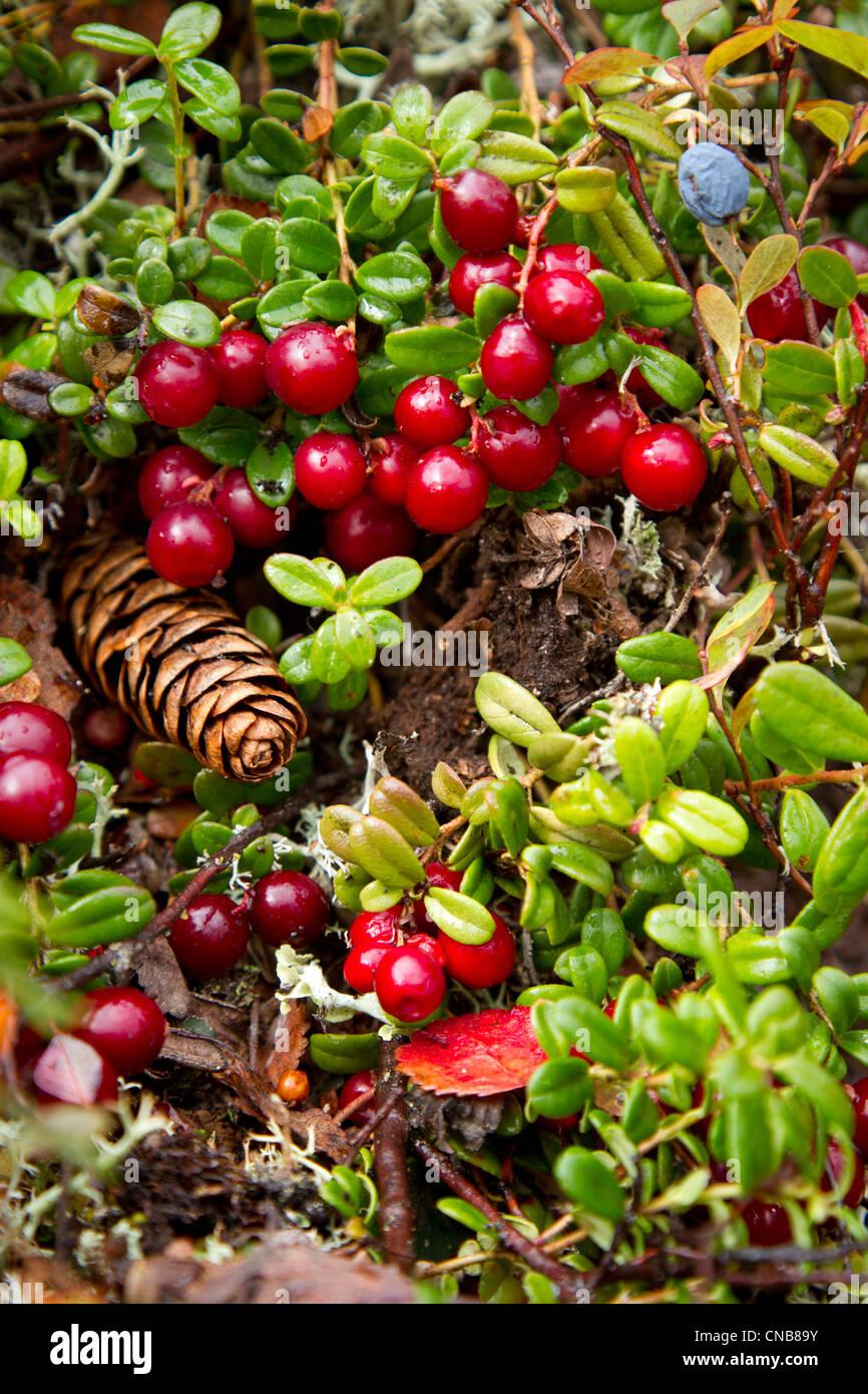Chiudere fino a bassa bush cranberries e tundra fogliame, Interior Alaska, Autunno Foto Stock