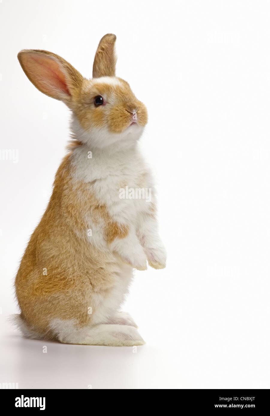 Coniglio Coniglio in piedi, guardando lontano Immagini Stock